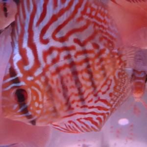 Red Turquesa Especial 10cm