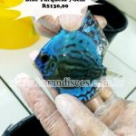 Acará Disco Blue Turquesa 7-8CM