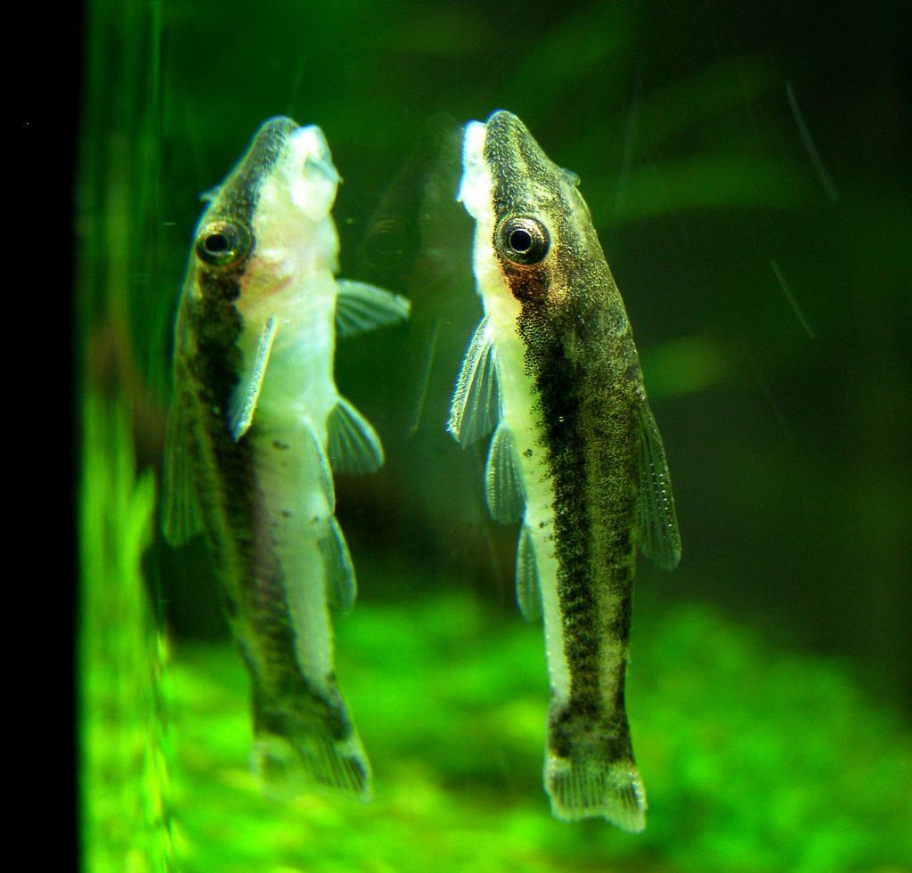 Peixe-Limpa-Vidro-Saiba-Mais