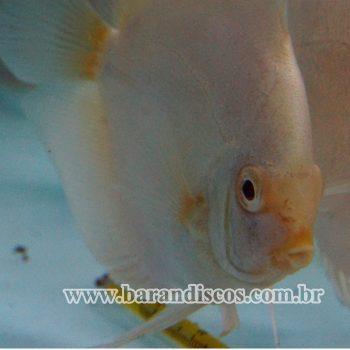 Acará Disco Albino Platinum 13CM