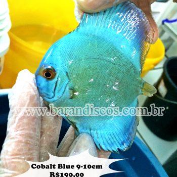 Acará Disco Cobalt Blue 9-10CM