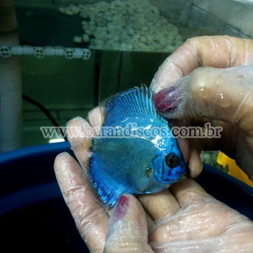 cobalt blue 6cm 2