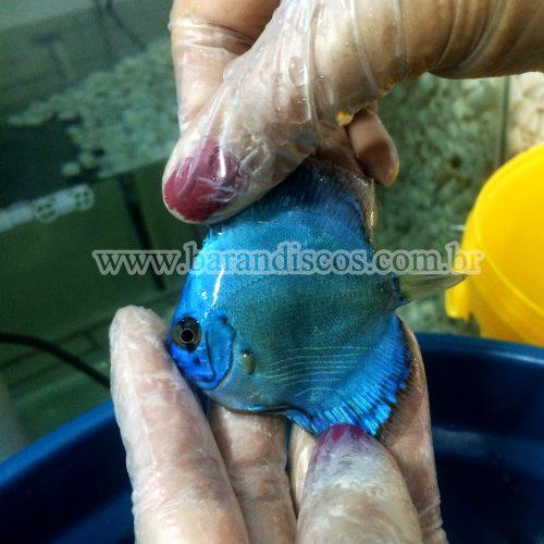 cobalt blue 6cm 3