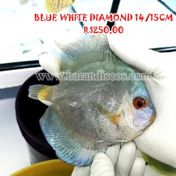 Acará Disco Blue White Diamond 14/15CM